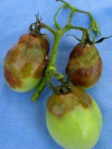 late_blight_tomato_fruit1x500